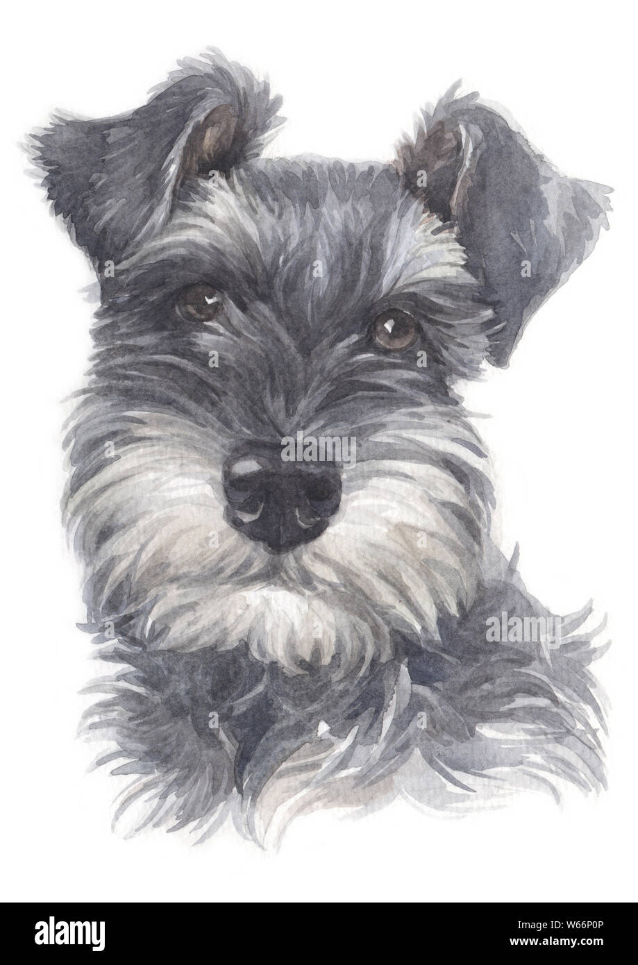 Water colour painting of Miniature Schnauzer 026 Stock Photo