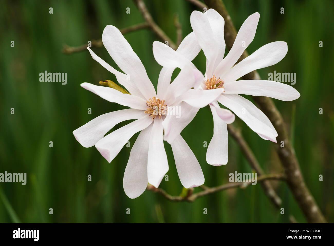 White Petals Of Star Magnolia Magnolia Stellata A Deciduous