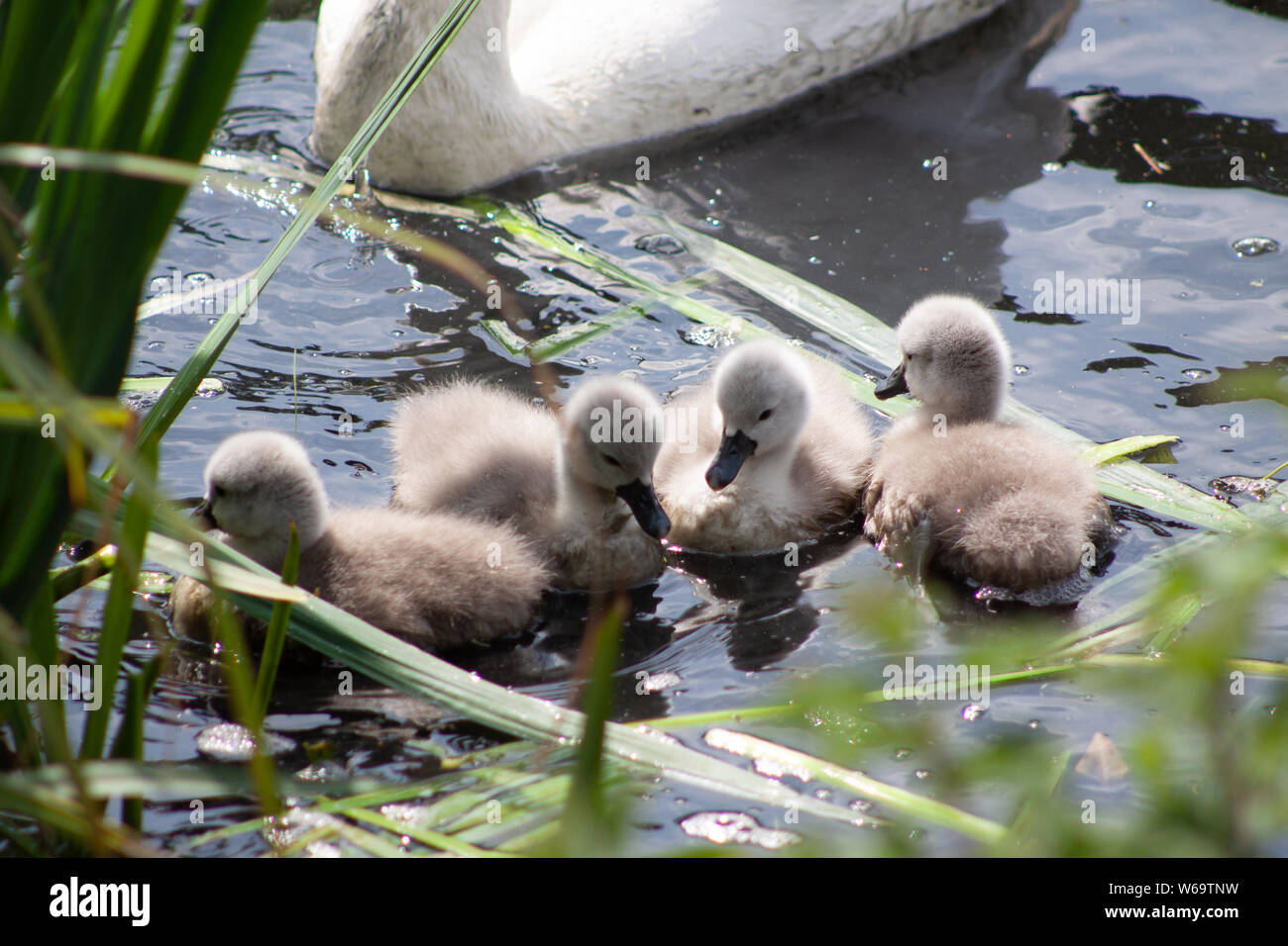 SWANS WITH SYGNETS Stock Photo