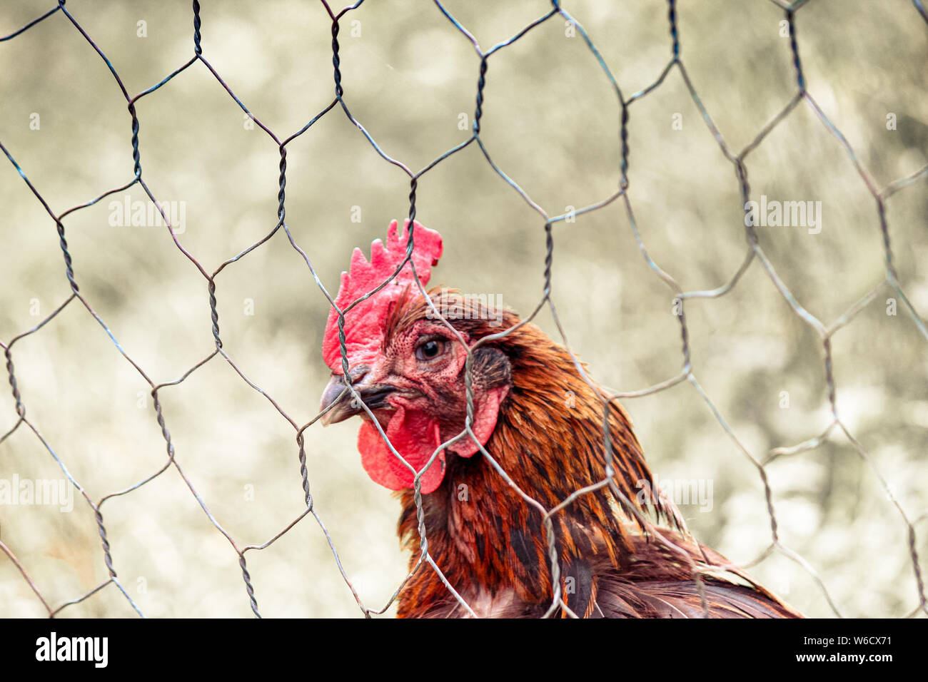 Sad brown hen in chicken cage. Behind fence. Animal abuse, cruelty to animals. Hen cages, battery cage. Chicken flu, diseases. Free range chickens. Blurred background. Stock Photo