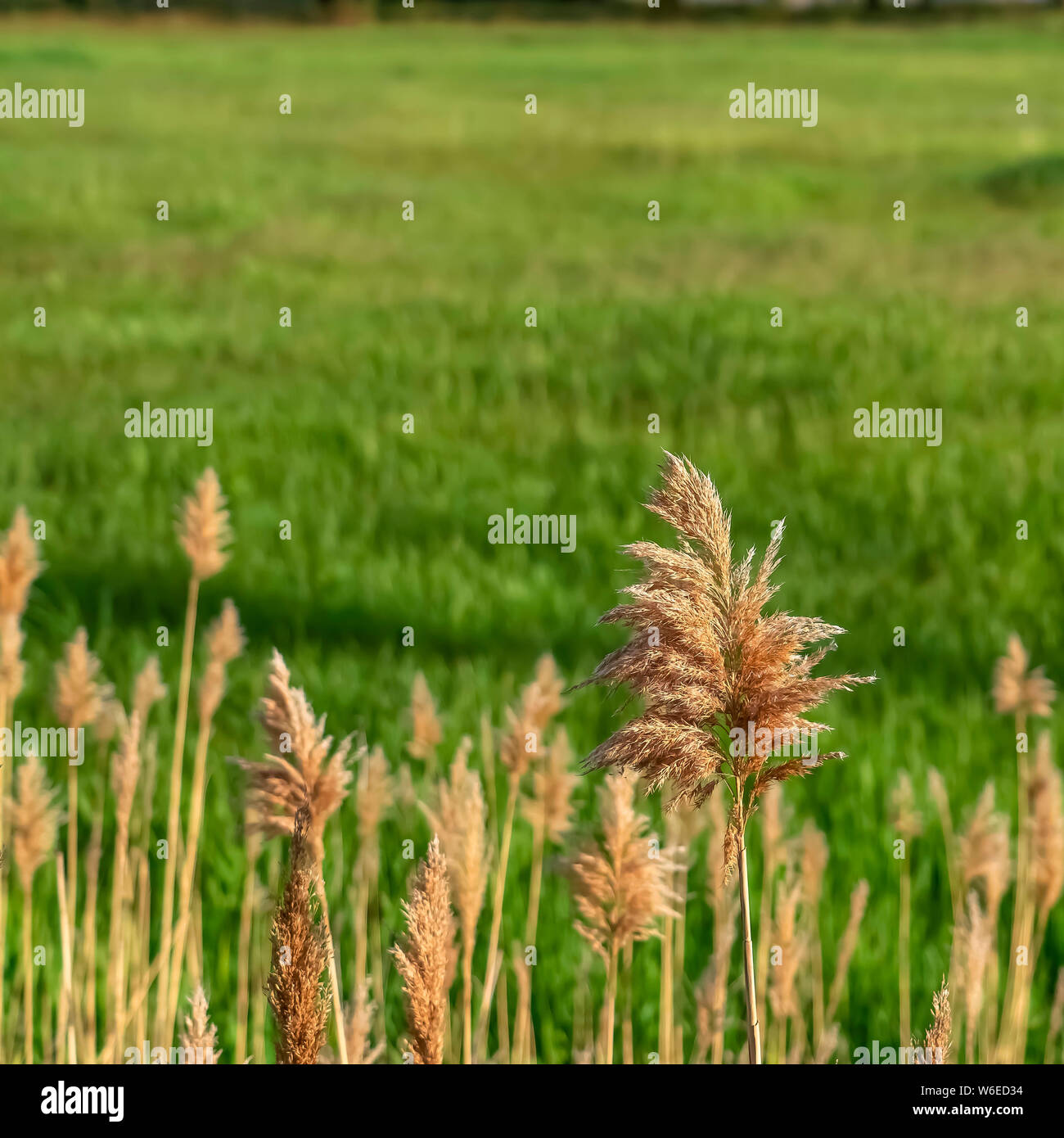 Square frame Close up view of sunlit brown grasses and vivid green field on a sunny day Stock Photo