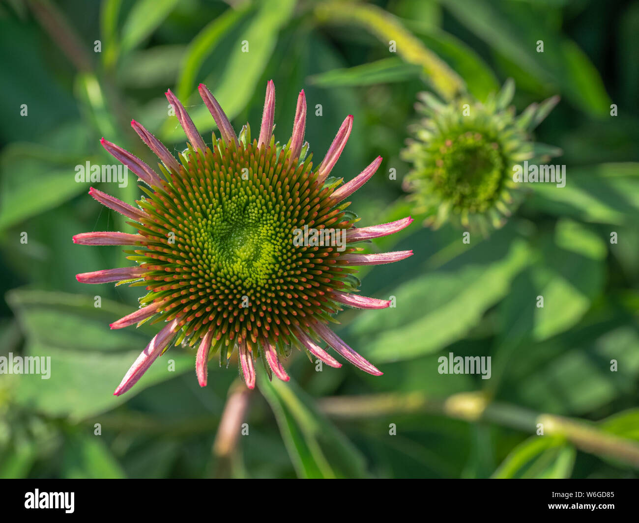 Close up looking down at a coneflower (Echinacea) flower starting to open, with soft- focus leaves and another blossom opening in the background Stock Photo