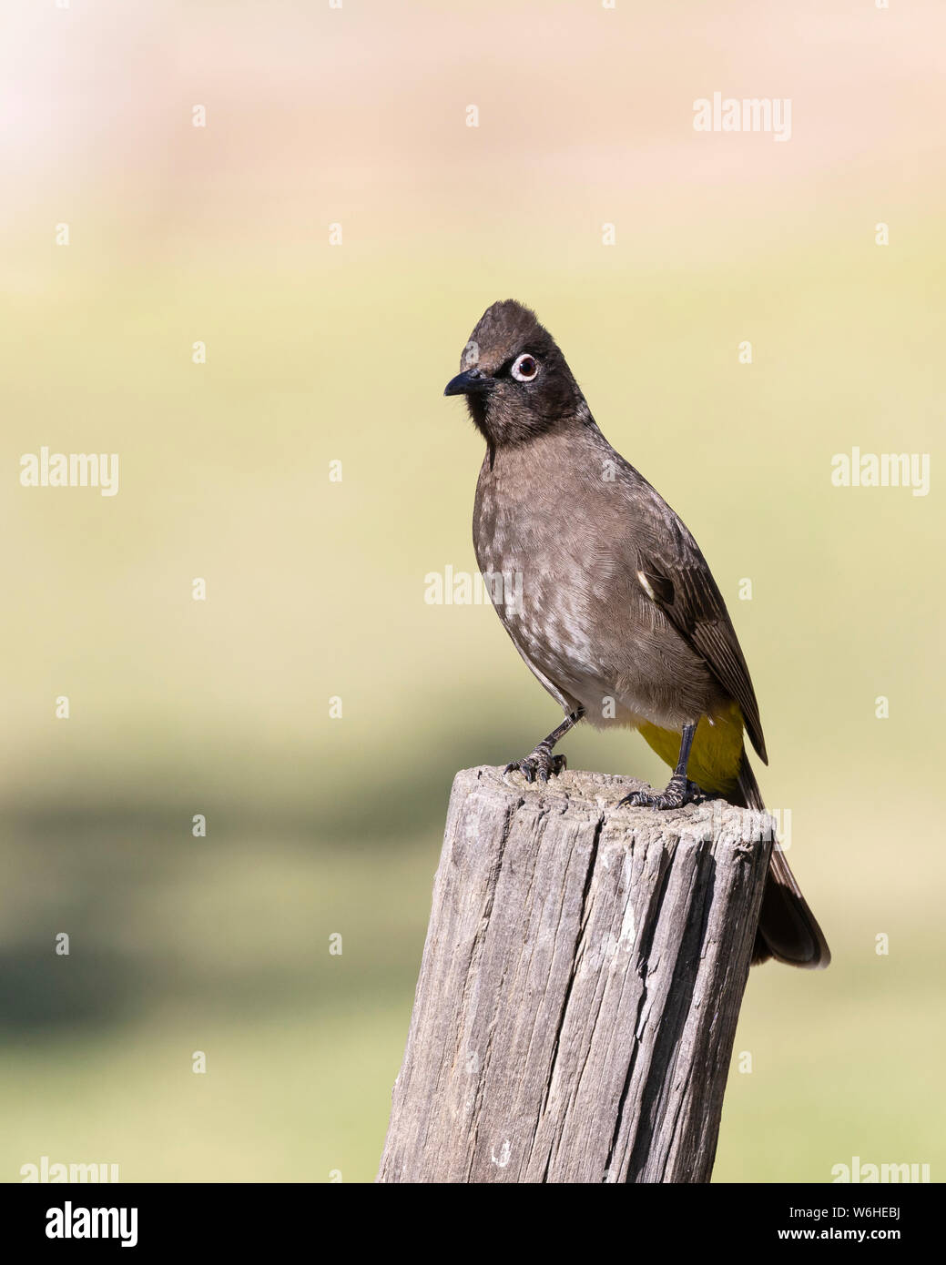 Cape Bulbul (Pycnonotus capensis) perched on pole, Robertson, Western Cape, South Africa in autumn. Stock Photo