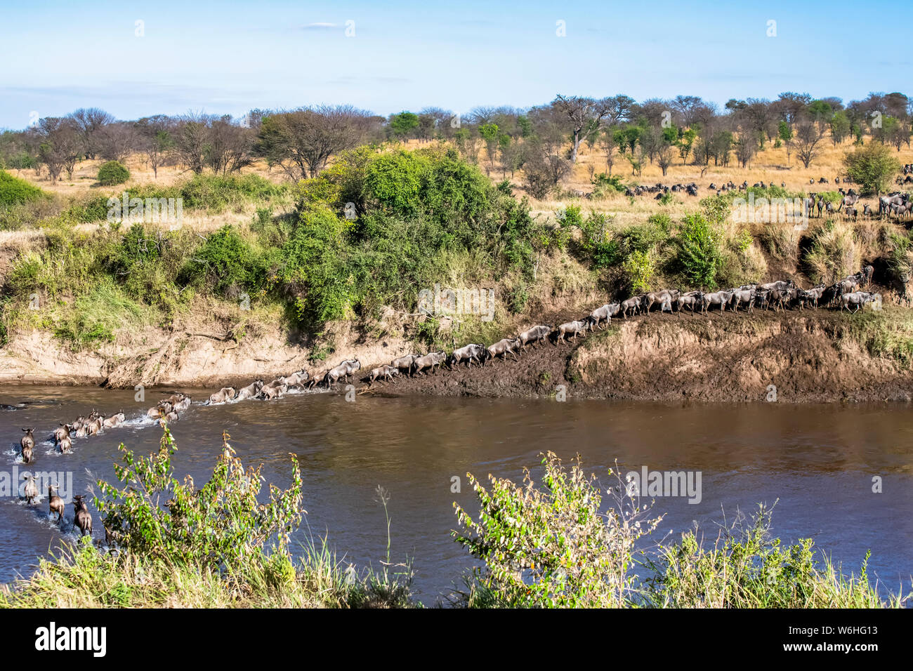 Herd of Wildebeest (Connochaetes taurinus) crossing the Mara River and climbing out on the far bank in Serengeti National Park; Tanzania Stock Photo