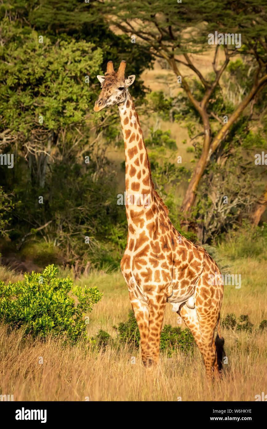 Masai giraffe (Giraffa camelopardalis tippelskirchii) stands watching camera, Serengeti; Tanzania Stock Photo
