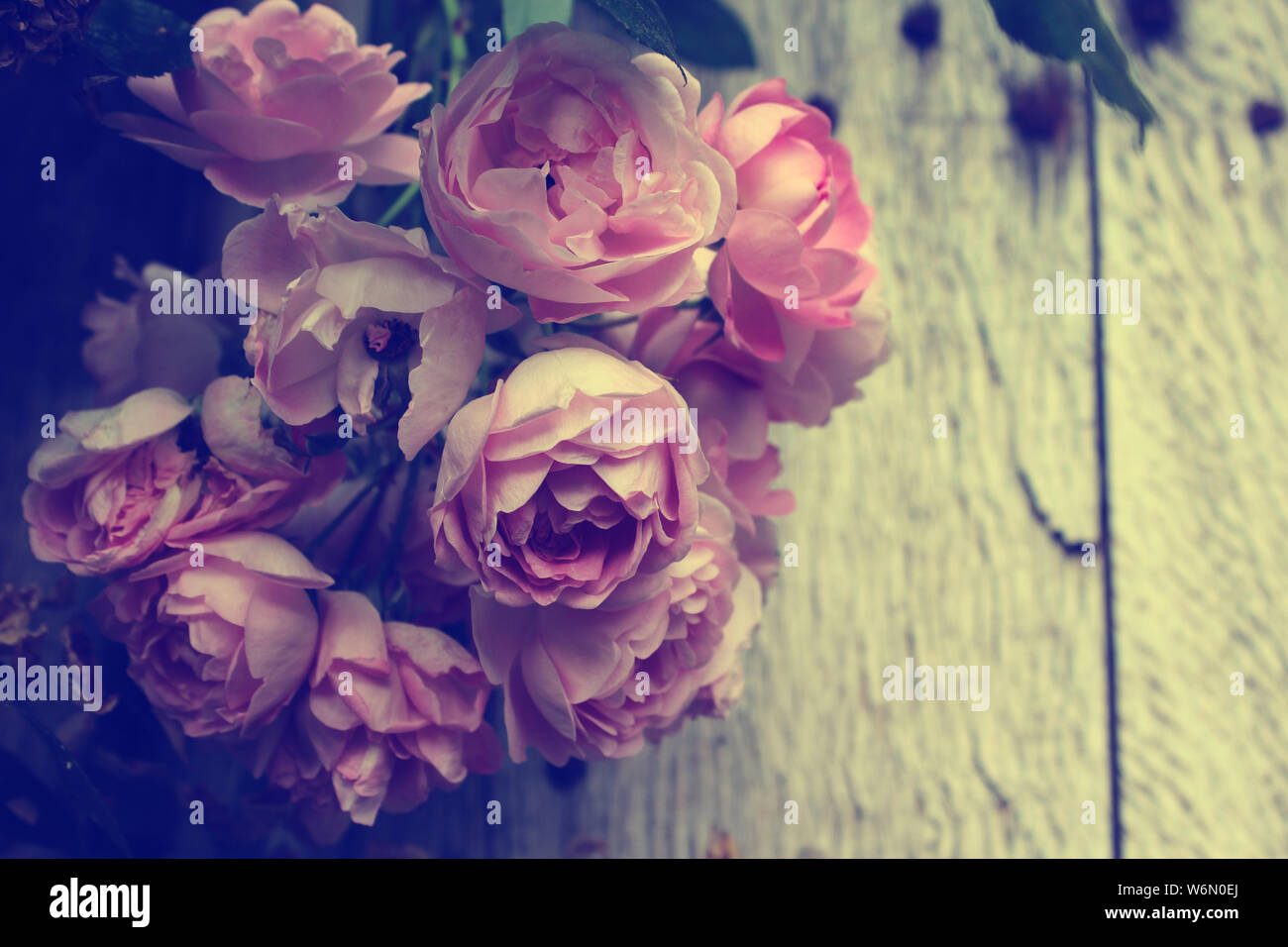 vintage style effect beautiful pink rose blossom background in close up with copyspace stock photo alamy alamy