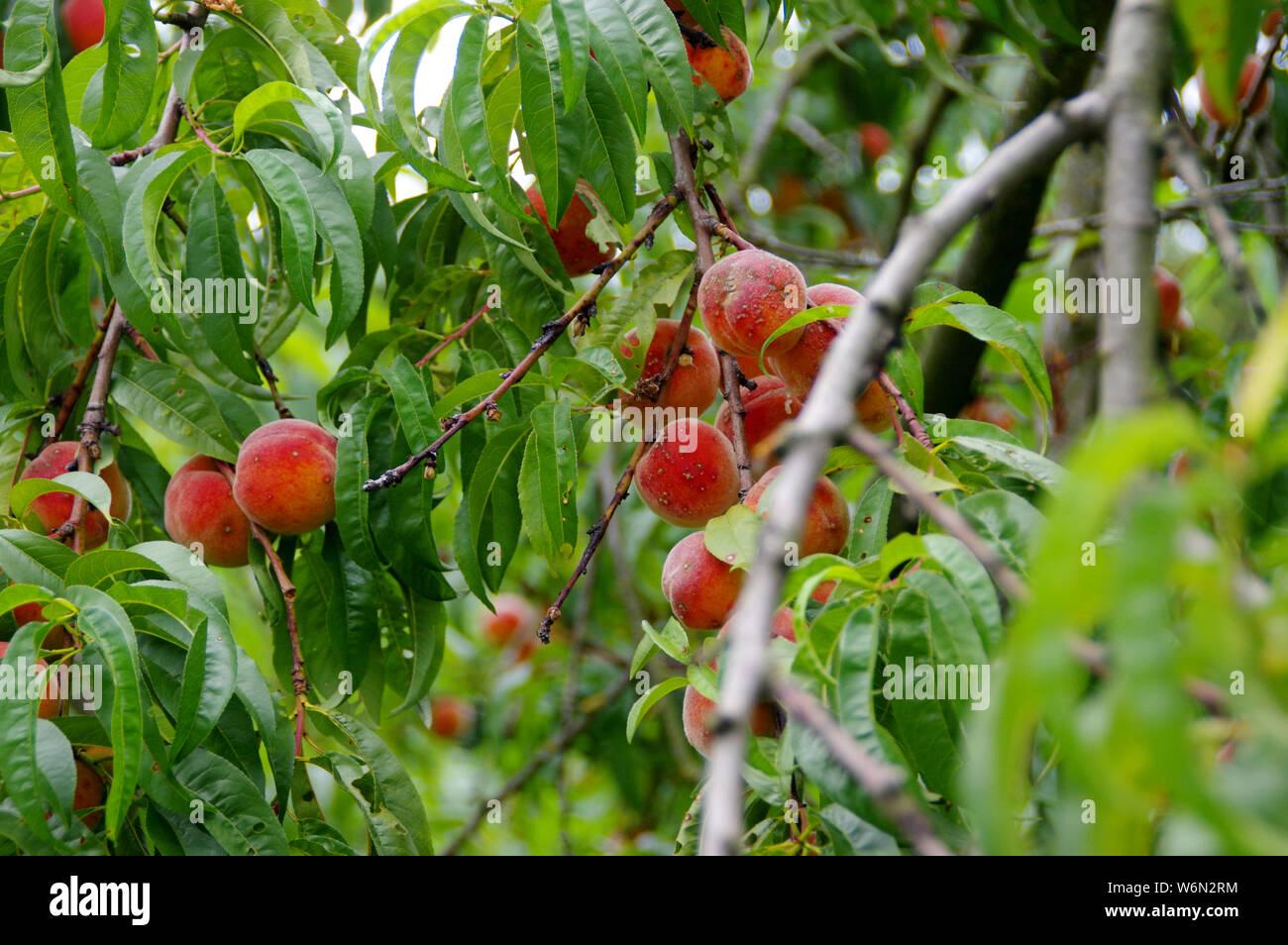 Peach tree in a home garden. Abundant fruit harvest on the branch. Stock Photo