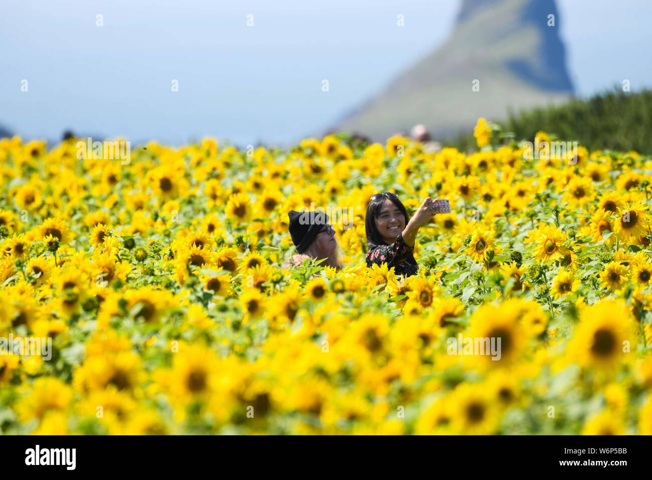 Rhossiil, Wales, UK. Friday, 2nd August 2019 Thousands of people are travelling to Rhossili on the Gower peninsular in South Wales, UK, to see the fields of sunflowers which have become a major attraction for visitors to the area. The National Trust, who manage the fields, are expecting crowds to peak this weekend as the sunflowers have become a must have selfie location for todays Instagram generation, who want to picture themselves amongst the beautiful flowers whilst enjoying the record breaking Summer weather in the UK. Credit : Robert Melen/Alamy Live News. Stock Photo