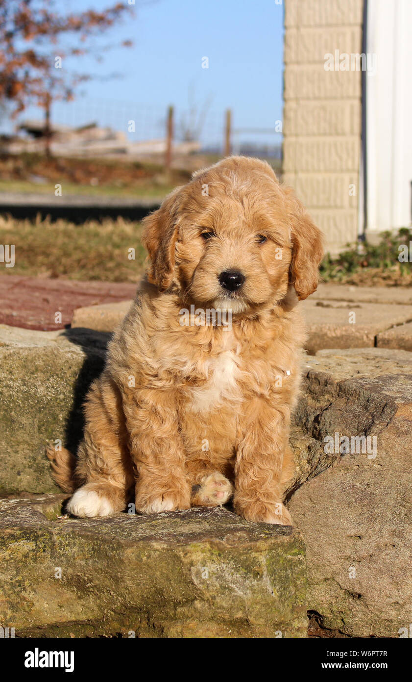 Mini Golden Doodle Puppy Sitting Outside Stock Photo Alamy