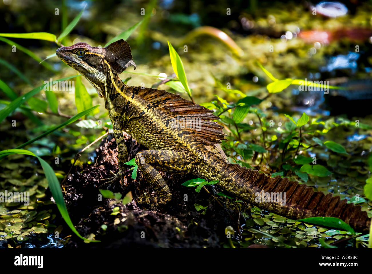 Basiliscus, commonly known as the Jesus Christ lizard Image taken in Panama Stock Photo
