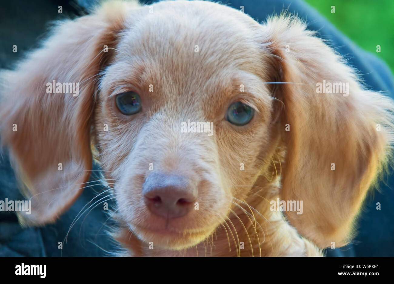 Photograph Of A Blonde Blue Eyed Longhair Dachshund Puppy Stock Photo Alamy