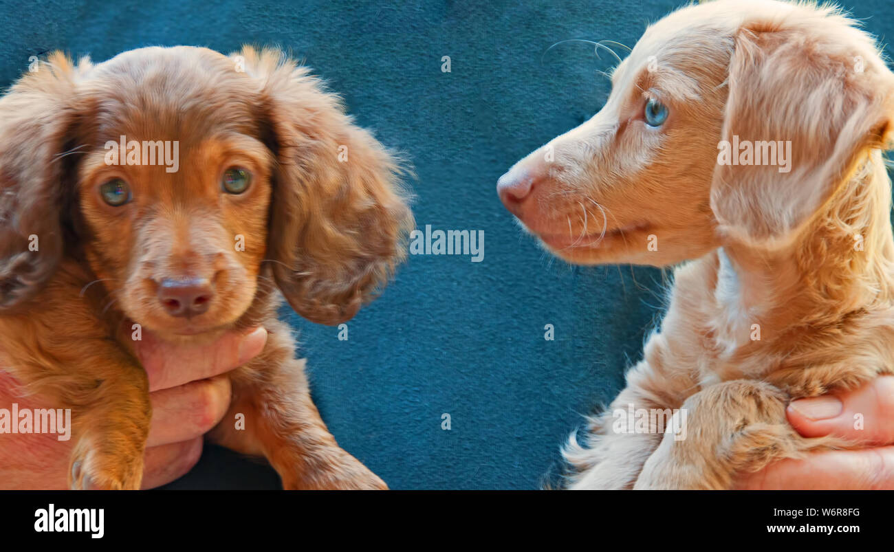 Photograph Of A Chocolate Green Eyed Longhair Dachshund Puppy And A Blonde Blue Eyed Dachshund Puppy One Is Looking At The Camera And One Is Not Stock Photo Alamy