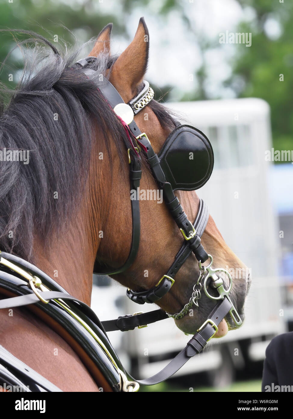 A bay welsh cob in full driving harness. Stock Photo