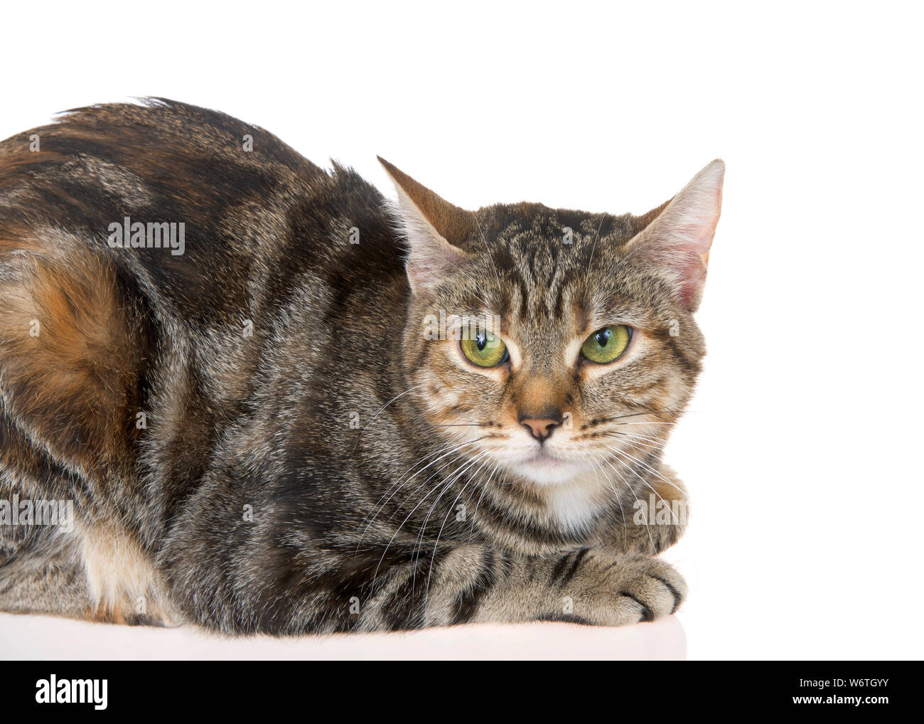 Close Up Of Bengal Tabby Mix Cat With Green Eyes On White Background The Bengal Cat Is A Domesticated Cat Breed Created From Hybrids Of Domestic Cats Stock Photo Alamy