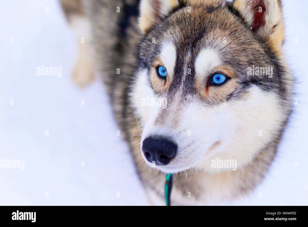 Blue Eyes Dog High Resolution Stock Photography And Images Alamy