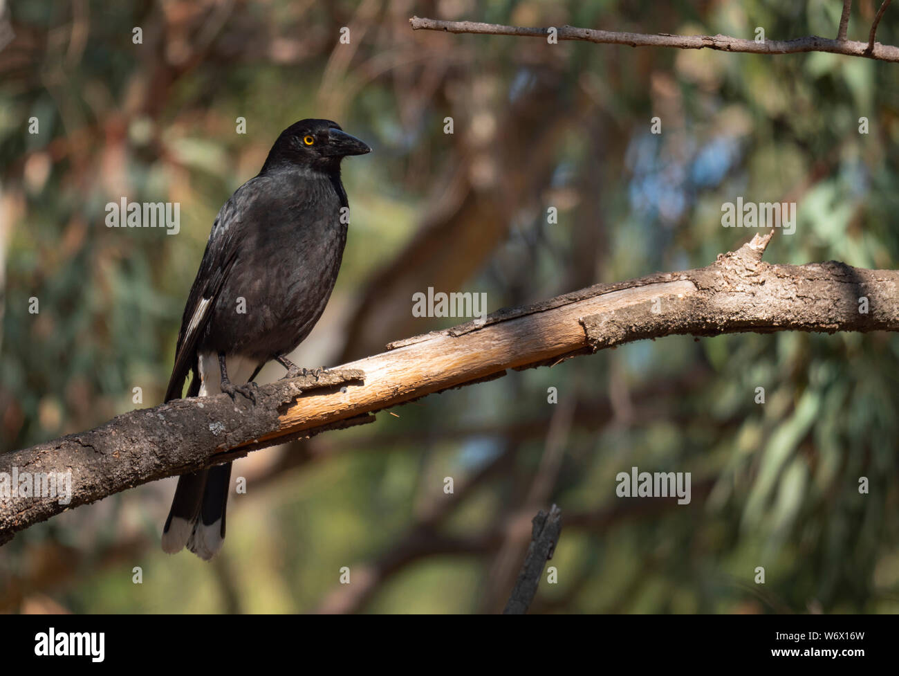 A Pied Currawong, , perched in a tree near Dubbo, Central Western New South Wales, Australia Stock Photo