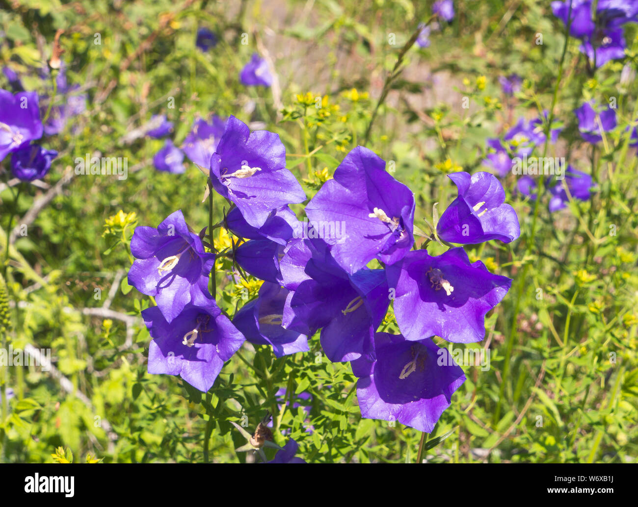 Campanula persicifolia, peach-leaved bellflower, found in abundance on the right day at Hovedoya in Oslo Norway Stock Photo