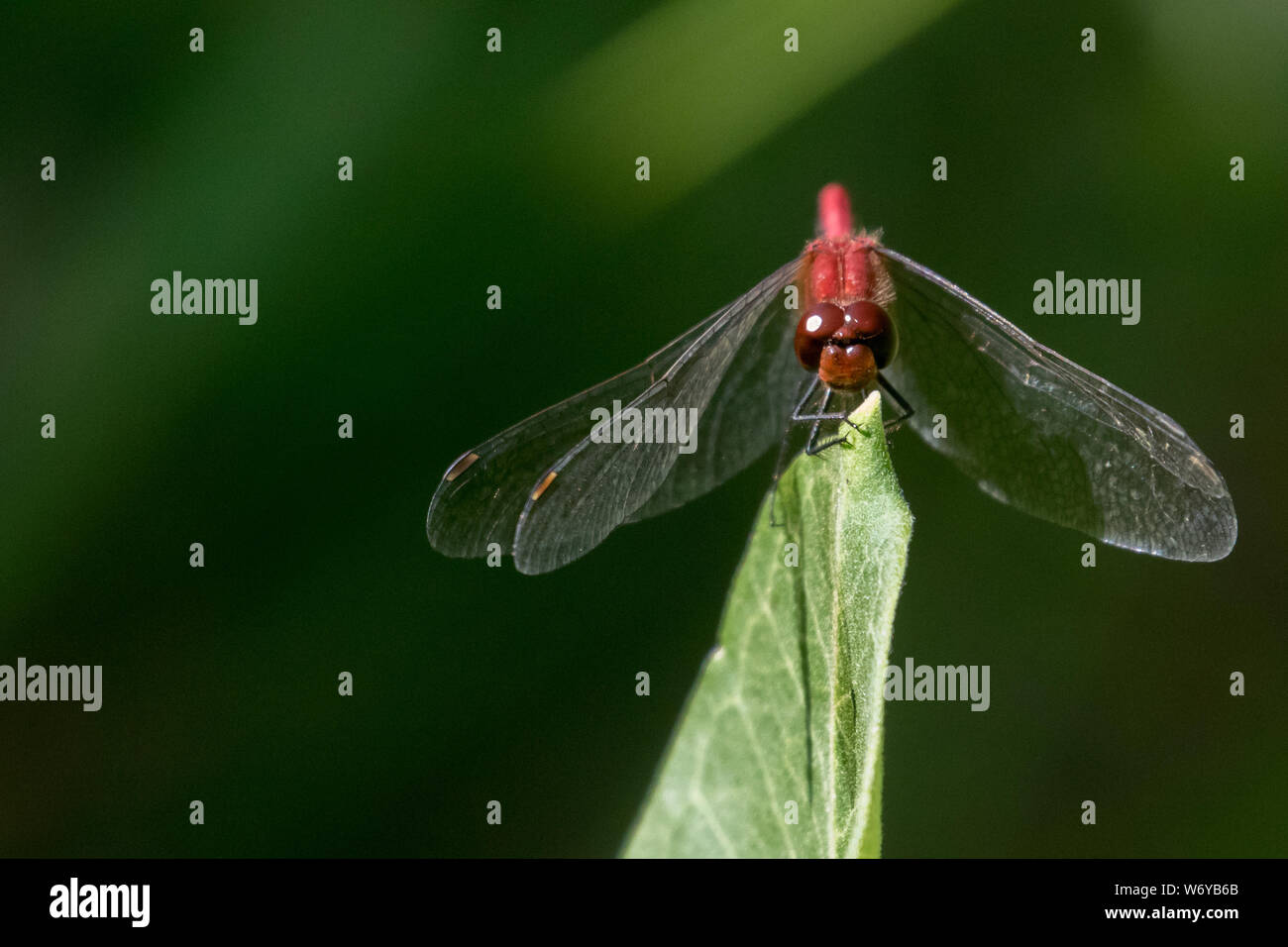 Ruby Meadowhawk Stock Photo