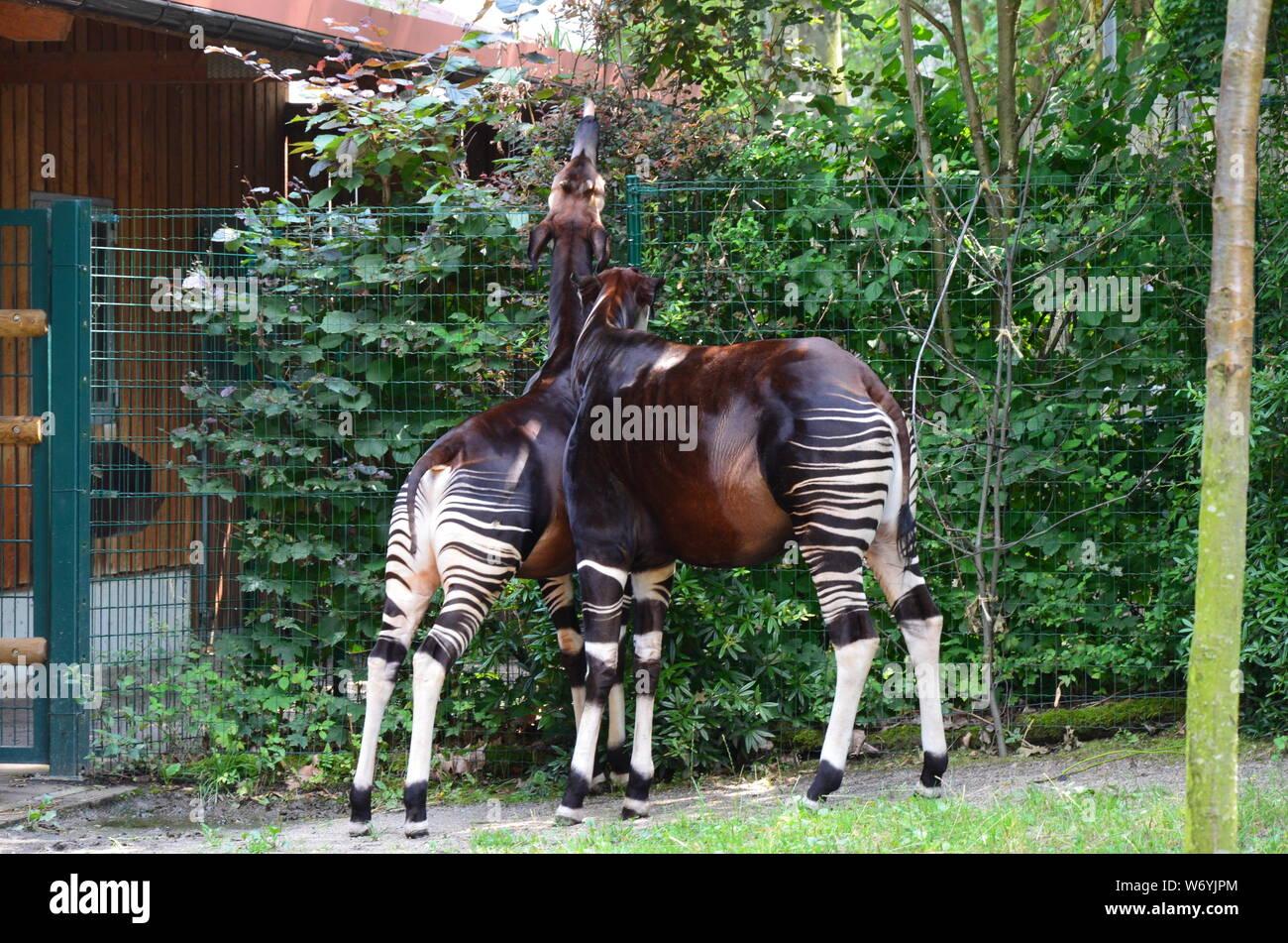 Portrait of okapi (Okapia johnstoni) Stock Photo