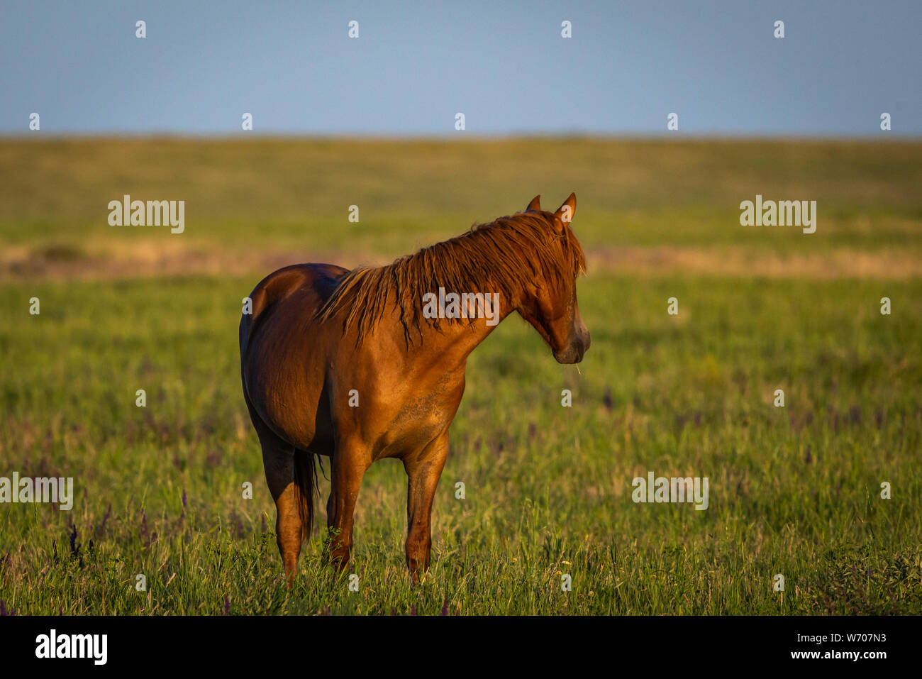 Portrait of wild horse in wildlife. Wild horses in nature Stock Photo