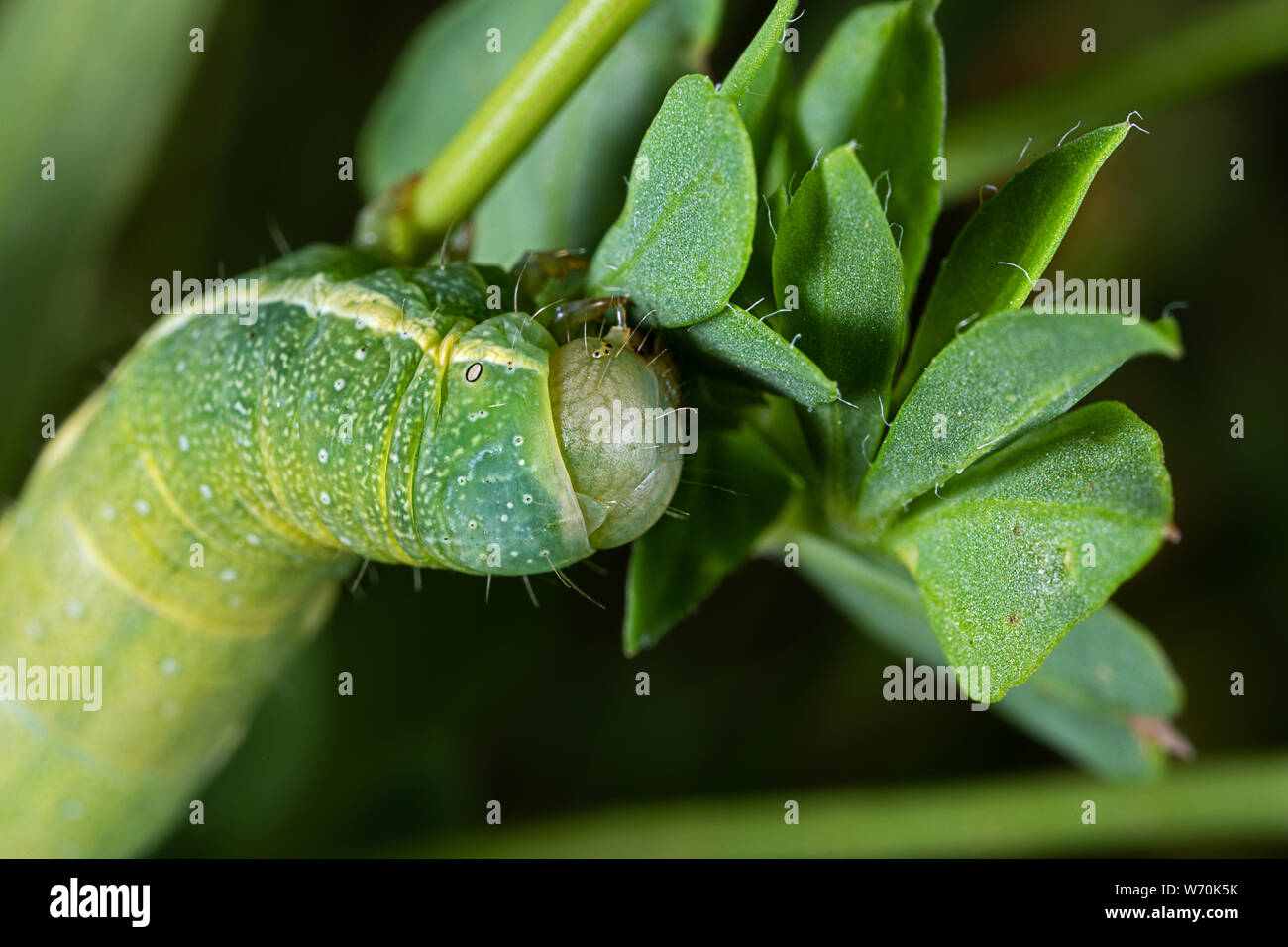head of a green caterpillar with white stripes on the side Stock Photo