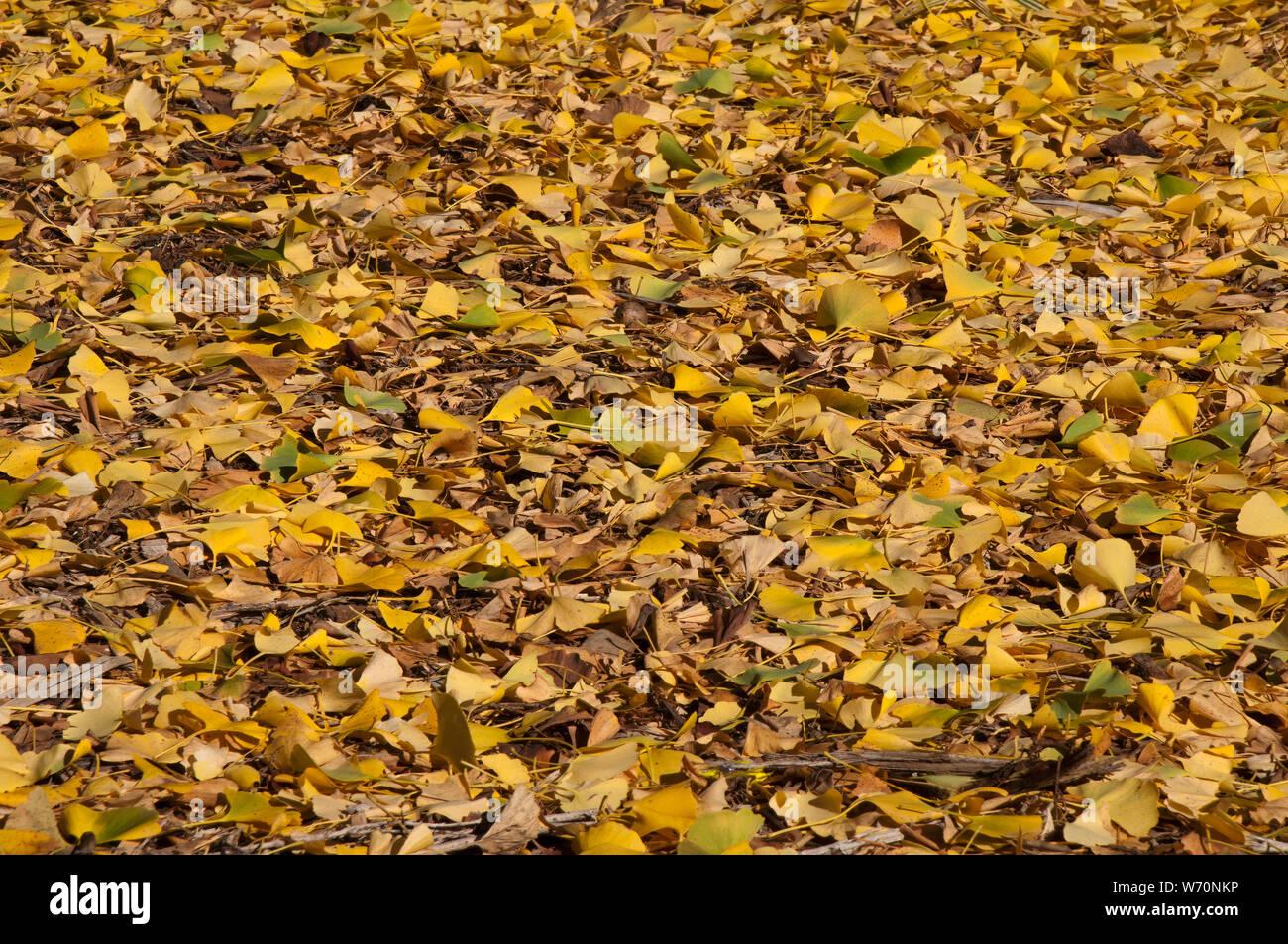 Sydney Australia Golden Leaves Of Ginkgo Biloba Or Maiden Hair