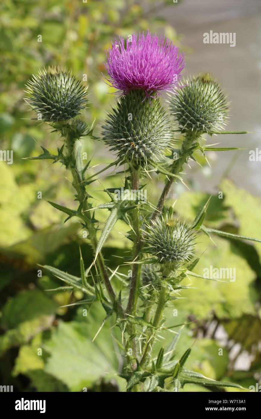 Gewöhnliche Alpendistel, Carduus defloratus. Stock Photo