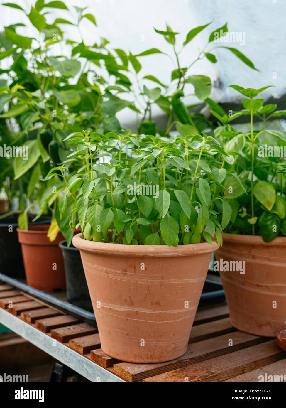 Lemon basil growing in a terracotta pot in a greenhouse. Stock Photo