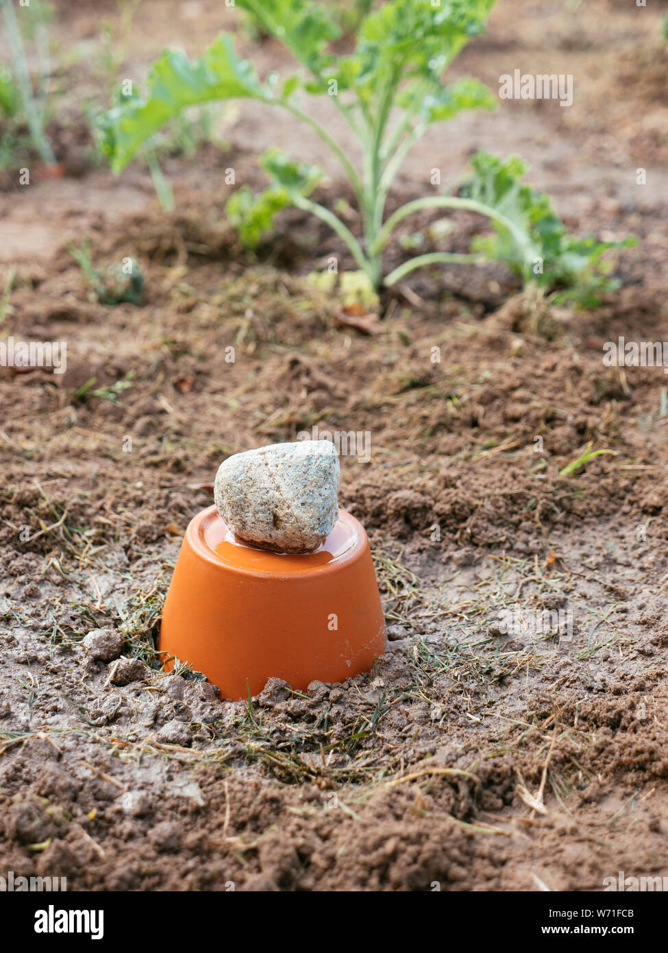Moist clay pot irrigation system in a vegetable garden. Stock Photo