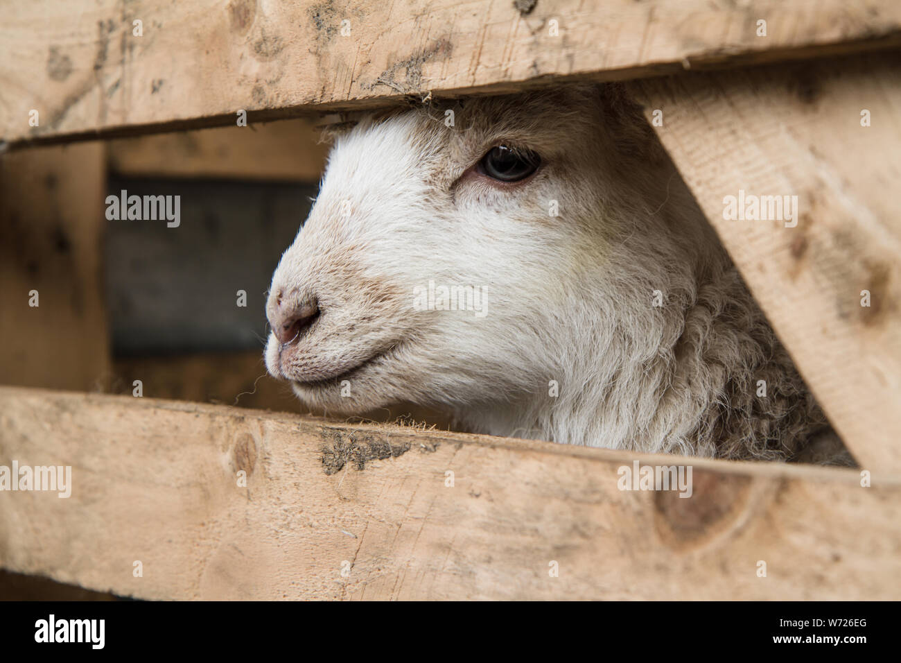 Close up of a Lamb in Spring in Wales Stock Photo