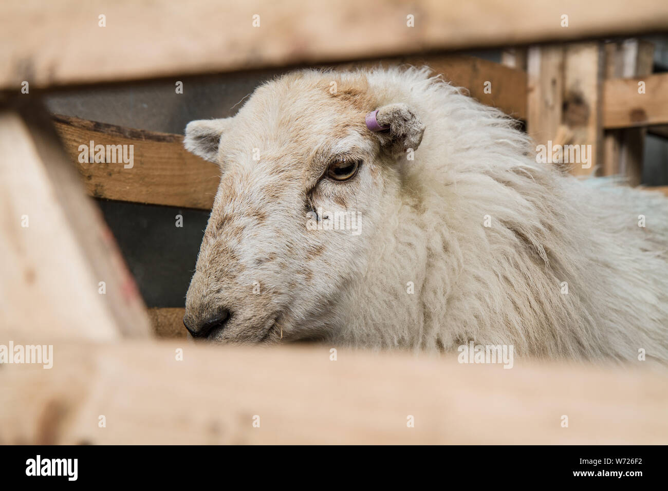 close up of Sheep in pen Wales Spring Stock Photo