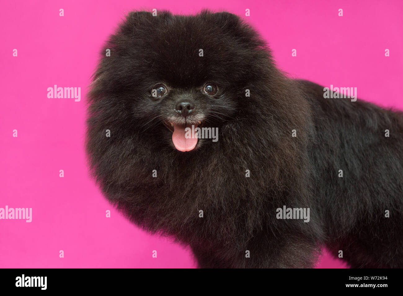 Pomeranian Puppies For Sale In East Texas