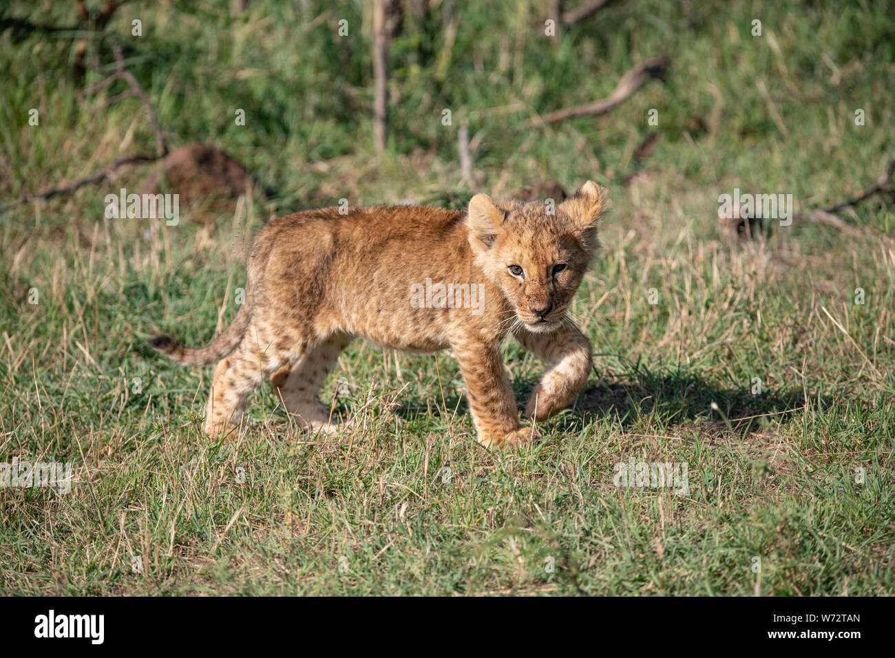 Lion Cub Hunting Stock Photos & Lion Cub Hunting Stock