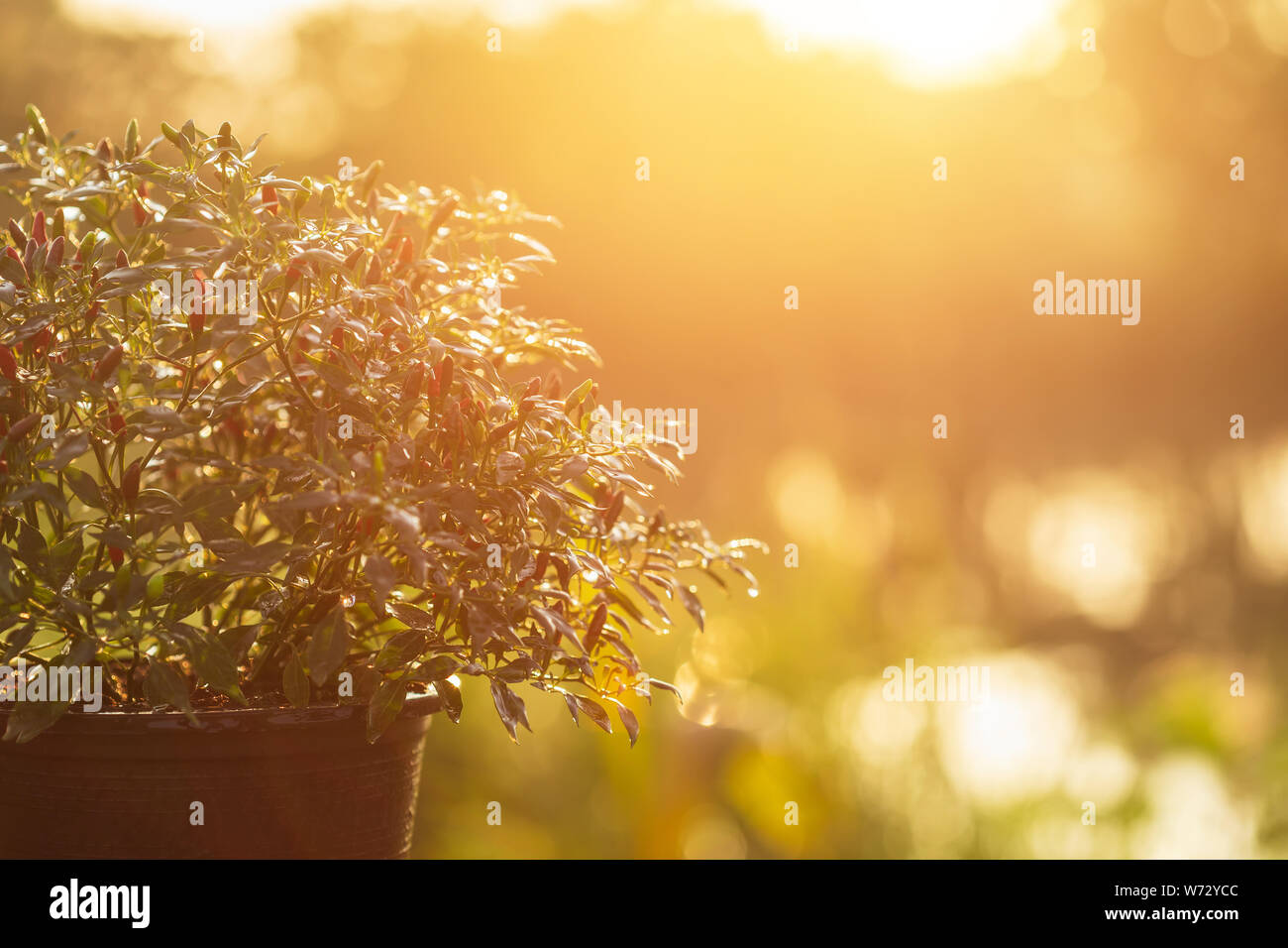 Small Fresh Thai Chilli Tree In Garden Pot In Garden At Morning Time With Blur And Sunlight Effect Stock Photo Alamy