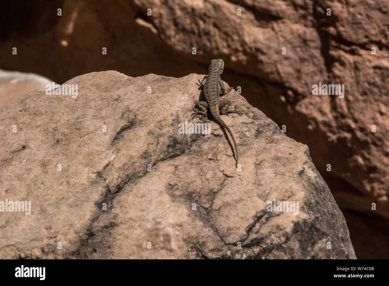 Plateau Fence Lizard (Sceloporus tristichus) from Mesa County, Colorado, USA. Stock Photo