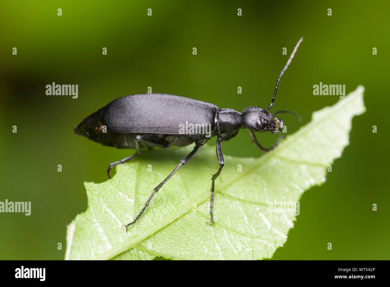 Blister Beetle Stock Photos & Blister Beetle Stock Images