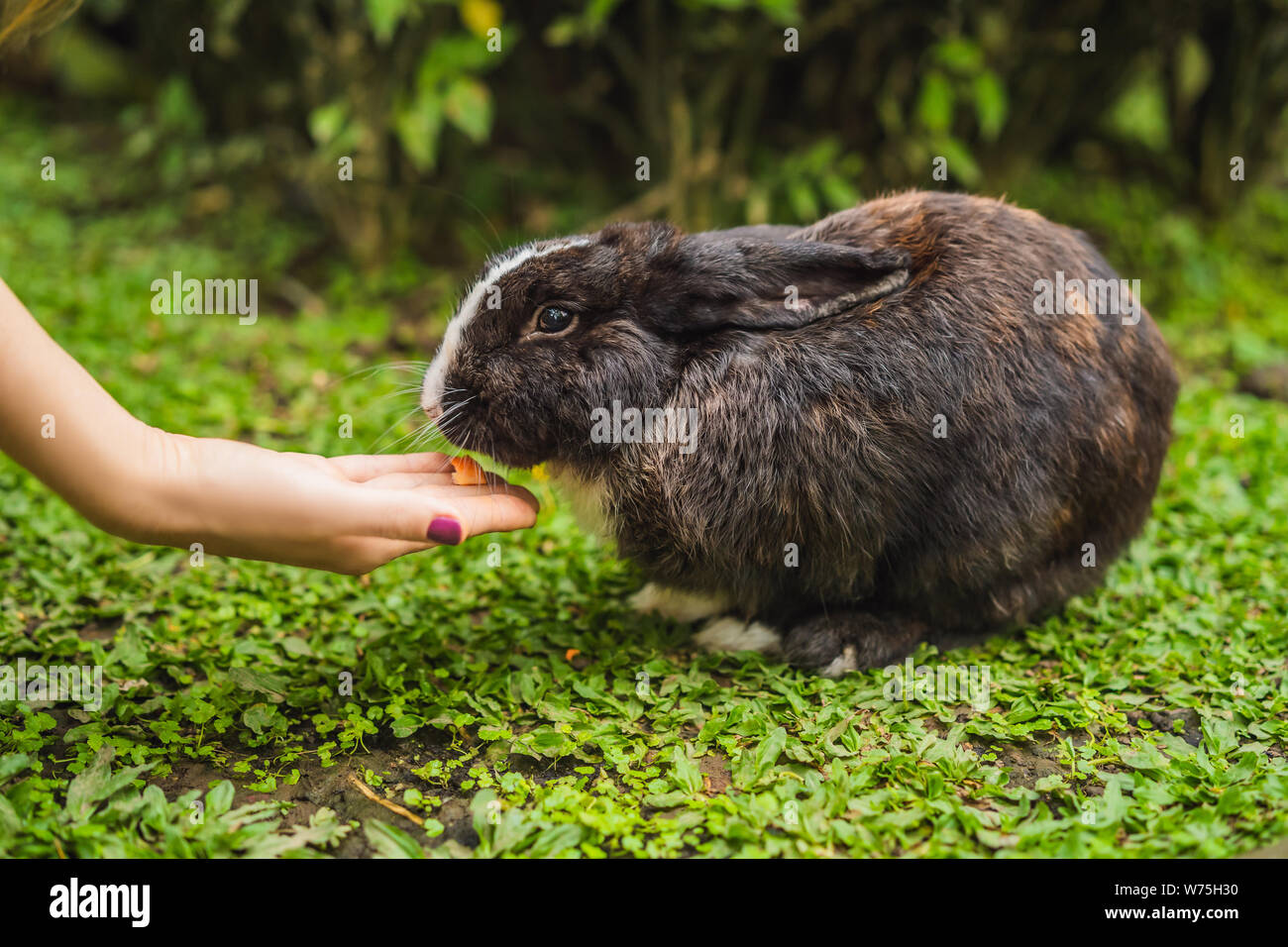 Hands feed the rabbit. Cosmetics test on rabbit animal. Cruelty free and stop animal abuse concept Stock Photo