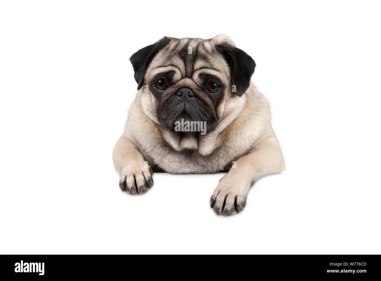 cute little pug puppy dog, looking watchful waiting, hanging with paws on white banner, isolated from background Stock Photo