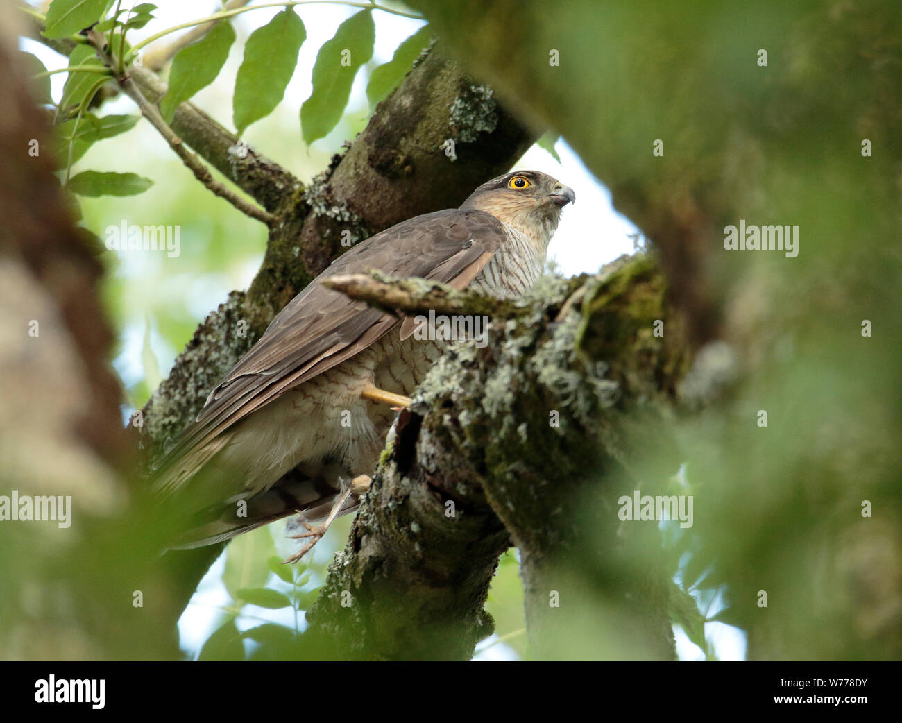 Sparrowhawk in woodland. Stock Photo