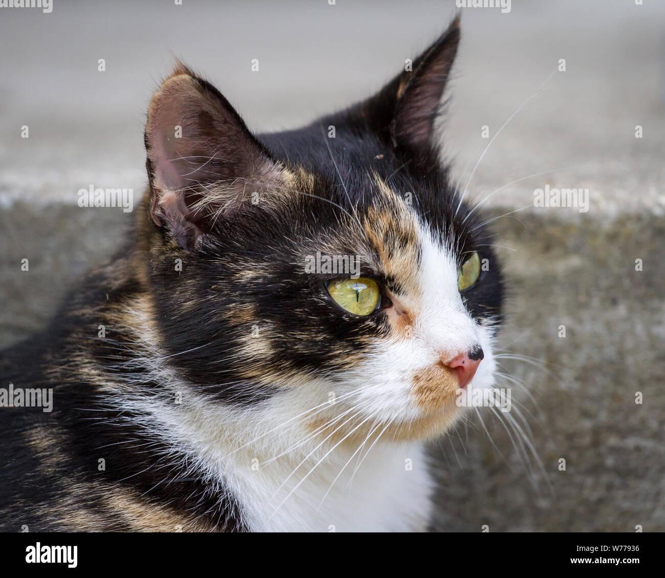 Tortoiseshell farm cat Stock Photo