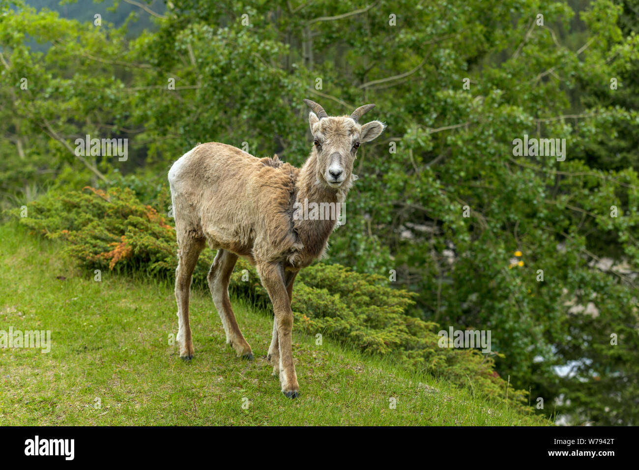 Spring Mountain Sheep - A young female Rocky Mountain Bighorn Sheep walking and grazing on a green meadow in Banff National Park, Alberta, Canada. Stock Photo