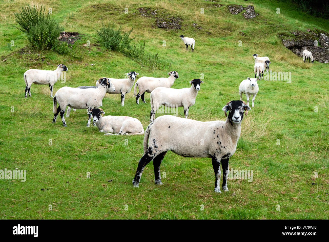 Recently sheared Swaledale sheep grazing rough pasture in the Eden Valley near Kirkby Stephen in Cumbria UK Stock Photo