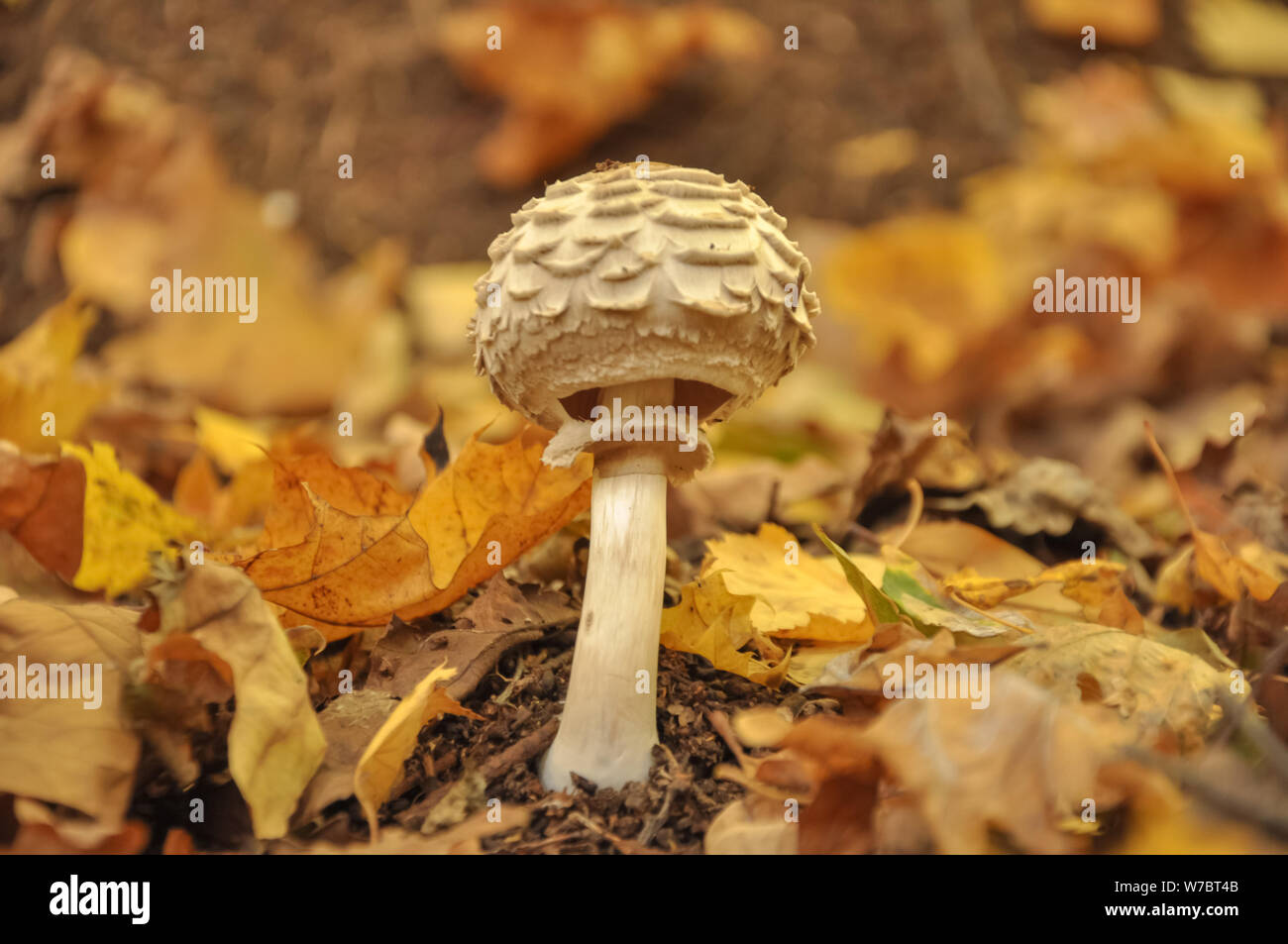 beautiful white poisonous mushroom in in yellow leaves, autumn season. little fresh mushroom growing in Autumn Forest. Mushroom picking concept. copy Stock Photo