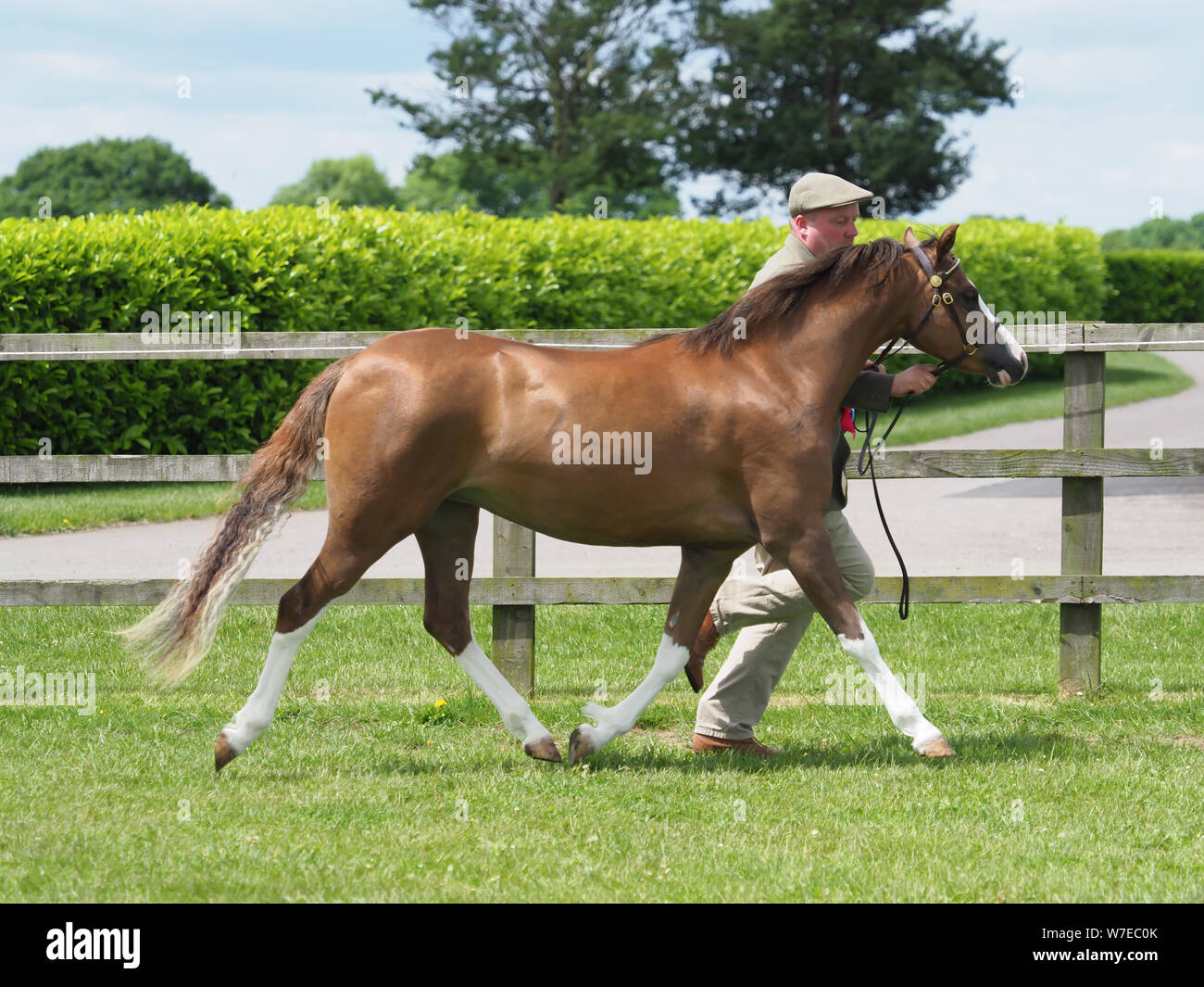 A bay Welsh Section A pony being trotted up in the show ring. Stock Photo