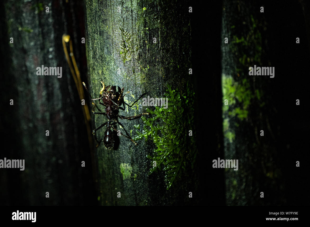 Bullet Ant  24-hour ant Stock Photo