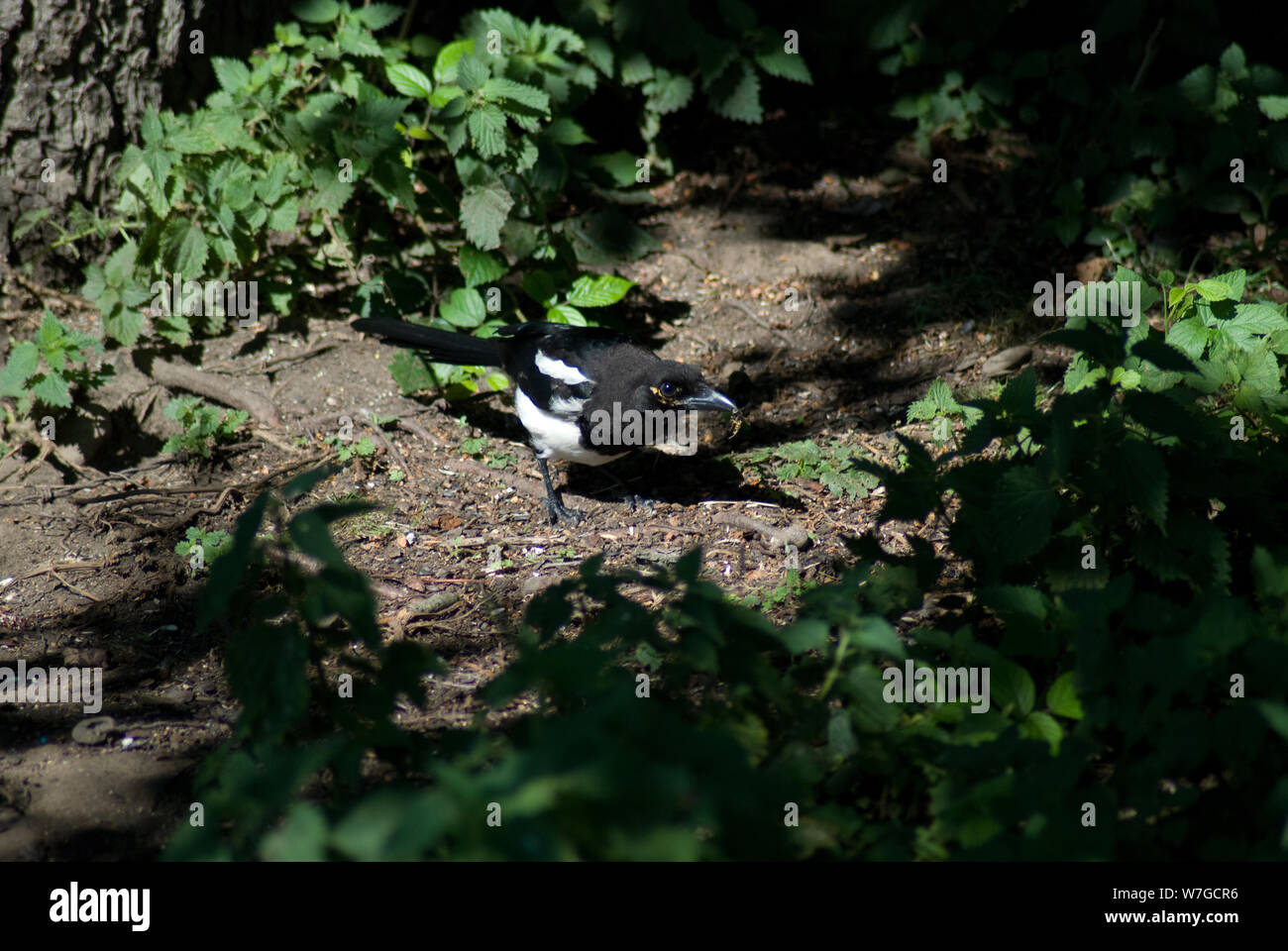 Magpie in small clearing lit by sunlight Stock Photo