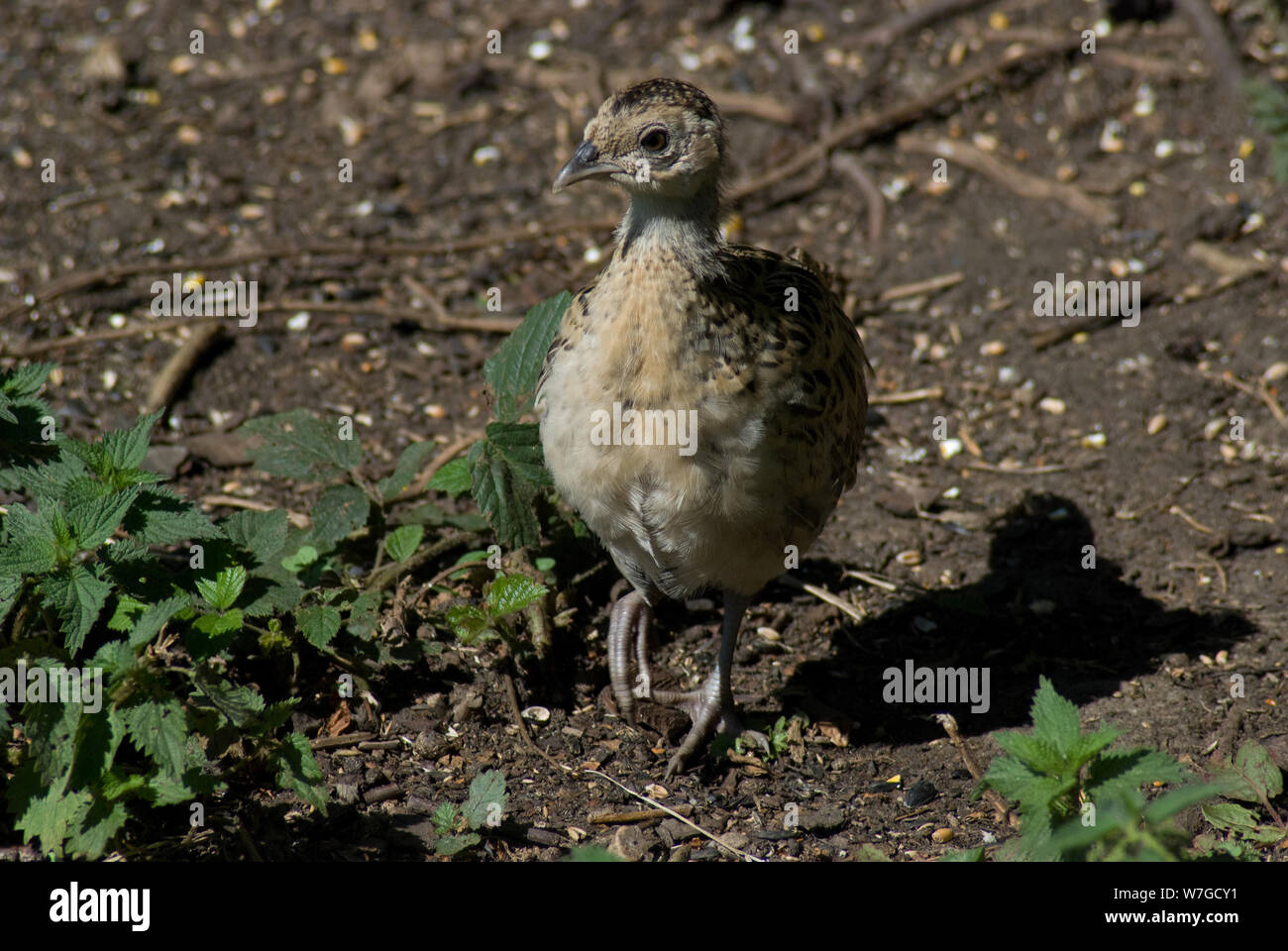 Pheasant chick in close up on the ground with one foot raised as it searches for food Stock Photo