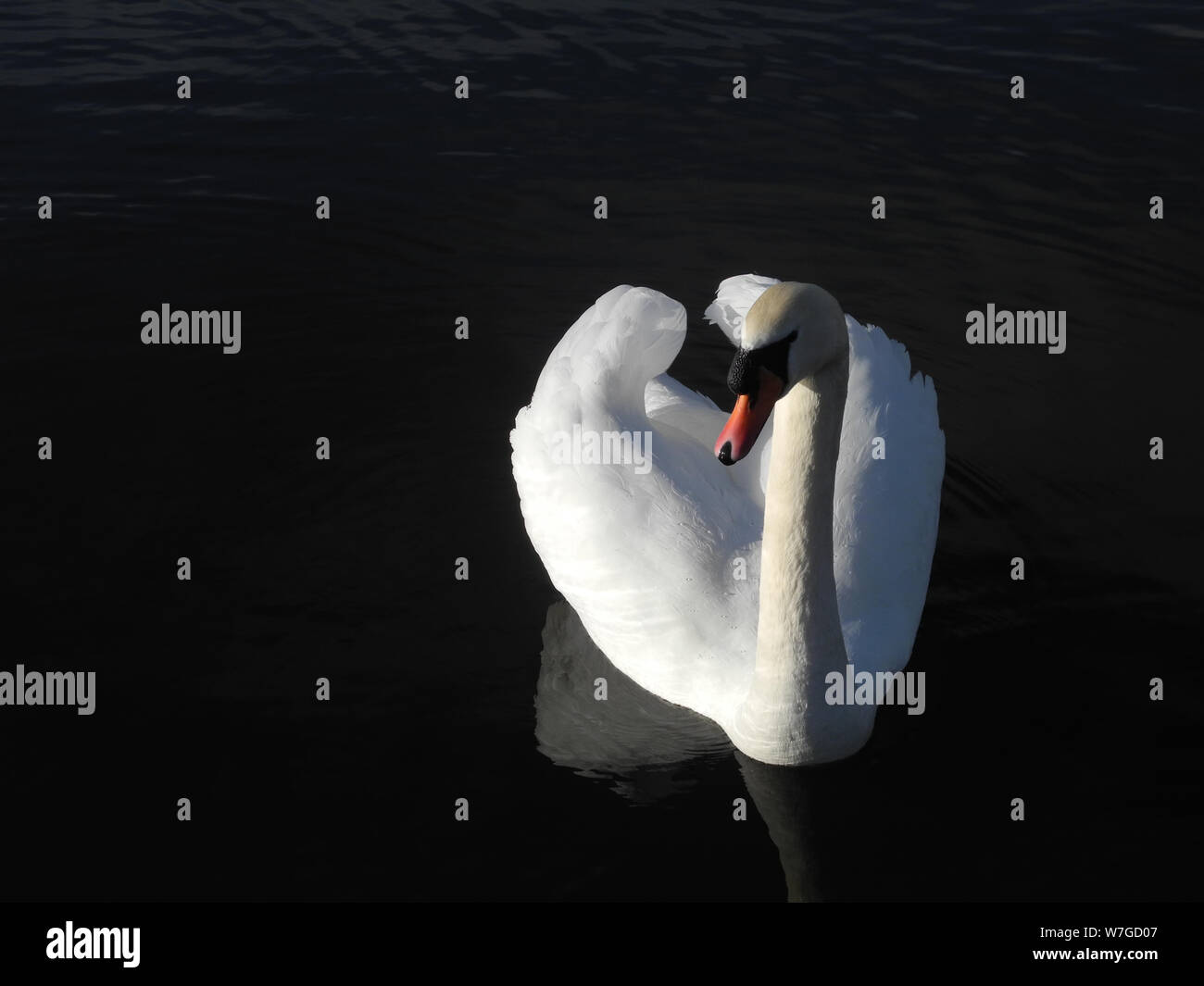 Mute swan showing pure white plumage against black background Stock Photo