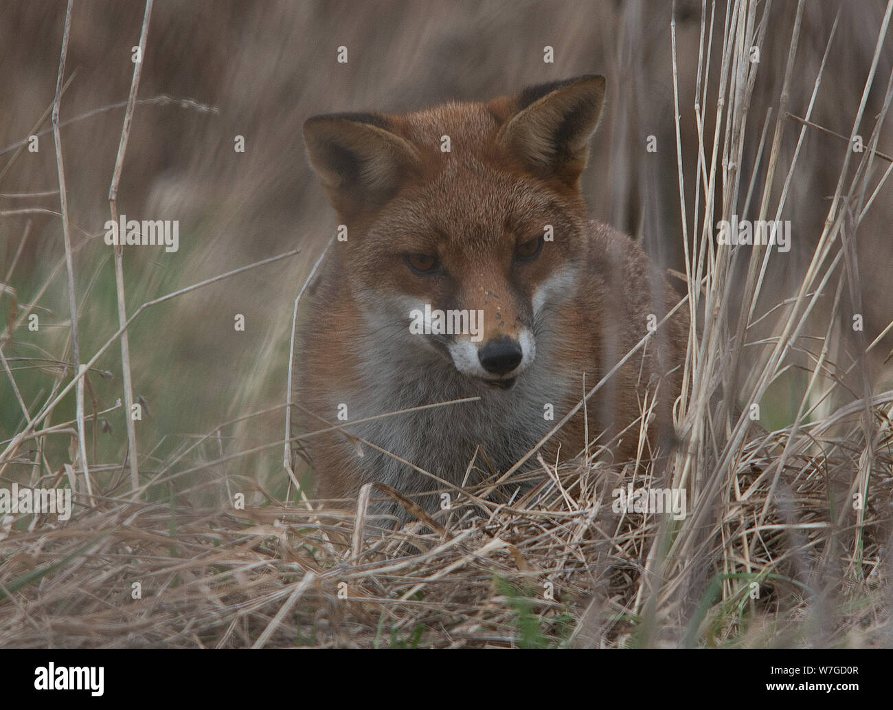 Fox out hunting seen in close up of it's head with ears raised and eyes focused on prey in undergrowth Stock Photo