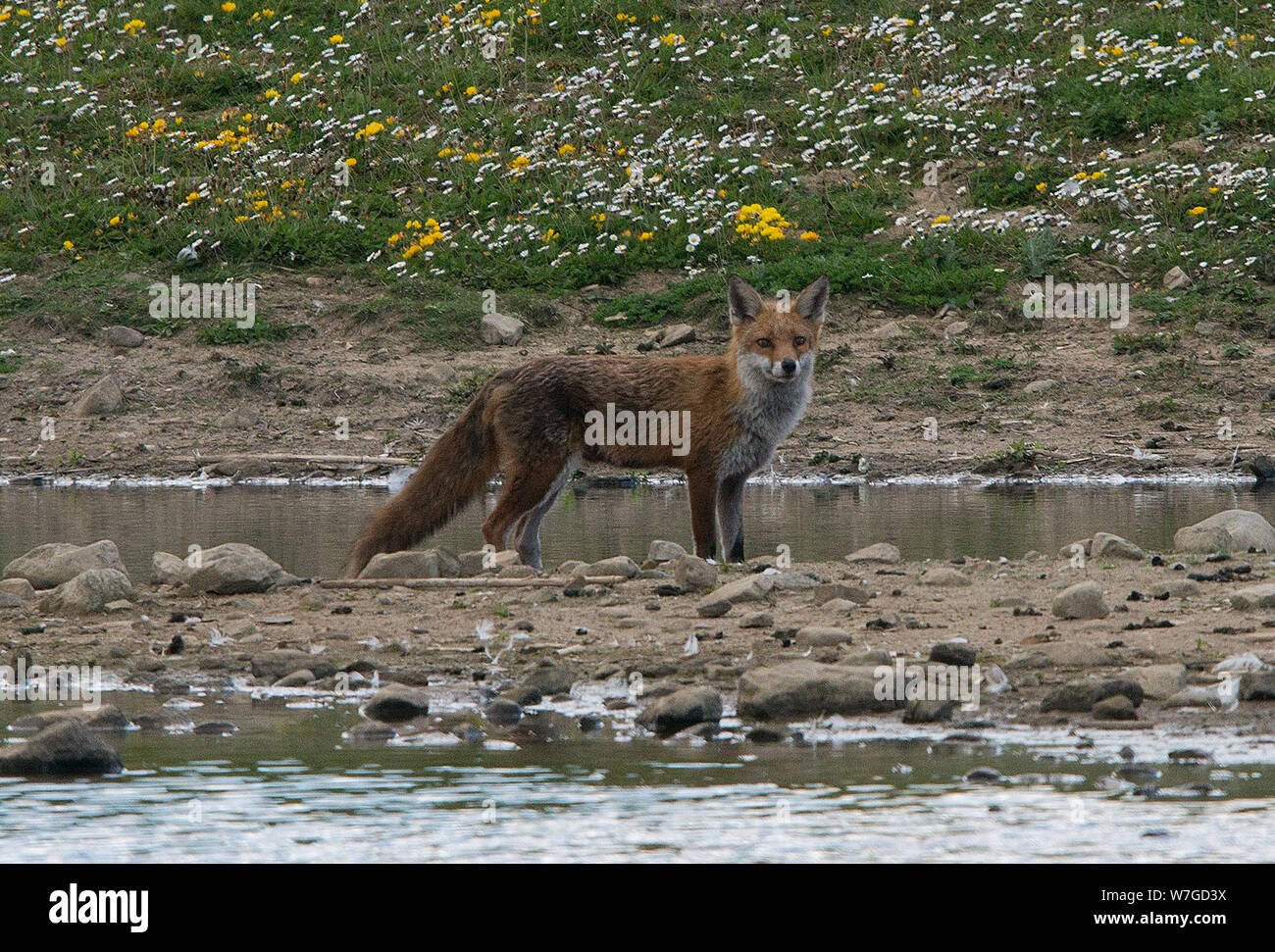 Fox out on hunting expedition near the waters edge of a large pond and looking directly towards the viewer Stock Photo